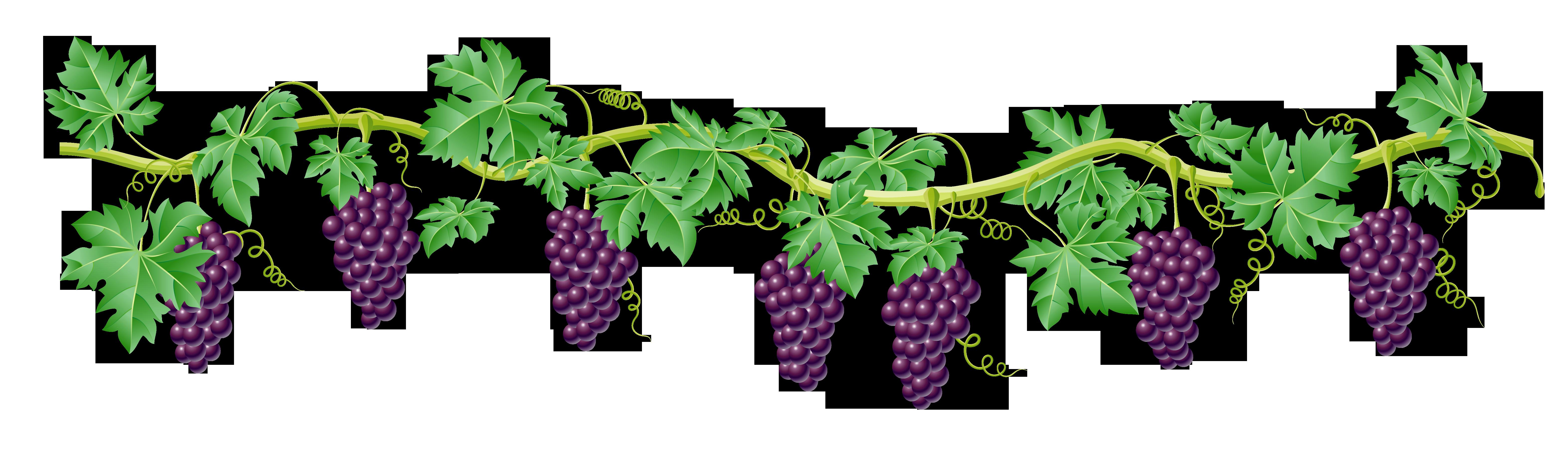 Grape Vine Plant Clipart.