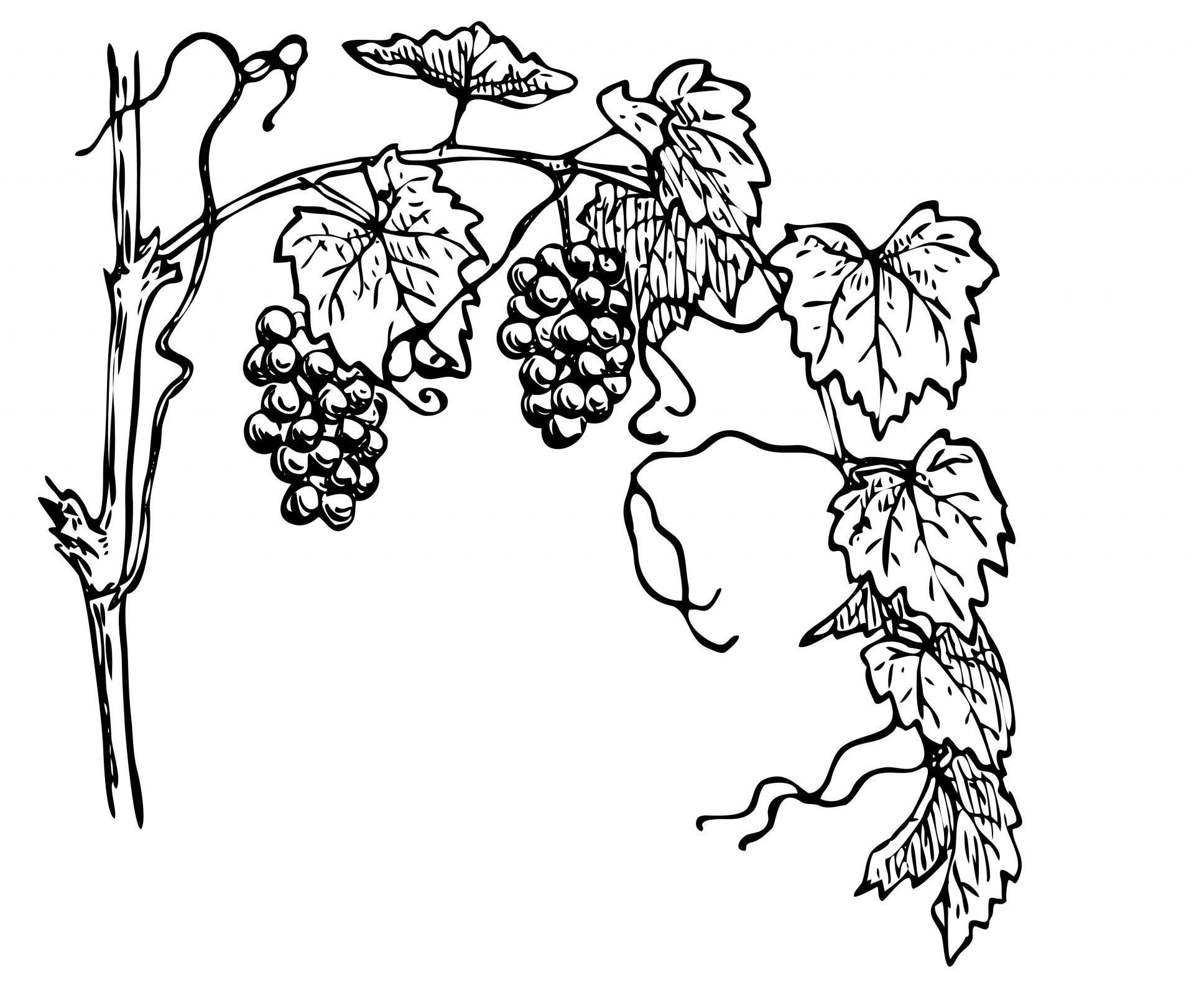 Grapevine Clipart Illustration Free Stock Photo.