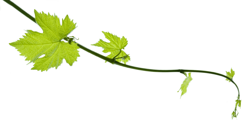 Download Free png Grapevine PNG Pic.