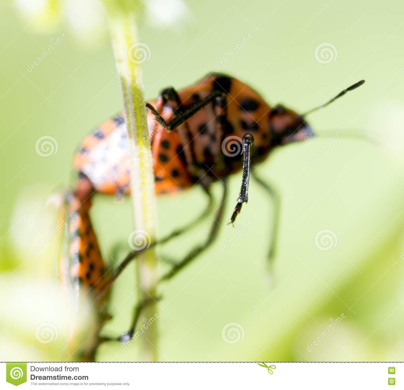 Red And Black Insect Graphosoma Lineatum Royalty Free Stock Images.