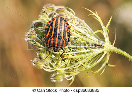 Pictures of Graphosoma lineatum, Shield bug.