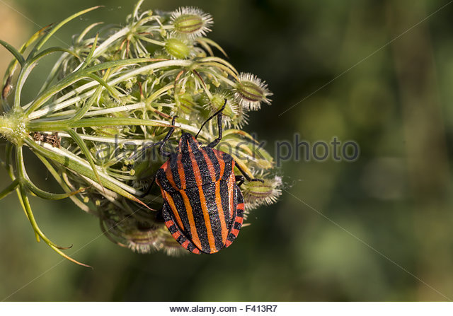 Red Shield Bug Stock Photos & Red Shield Bug Stock Images.