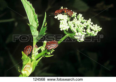 Pictures of shield bugs on flower / Graphosoma lineatum 124568.