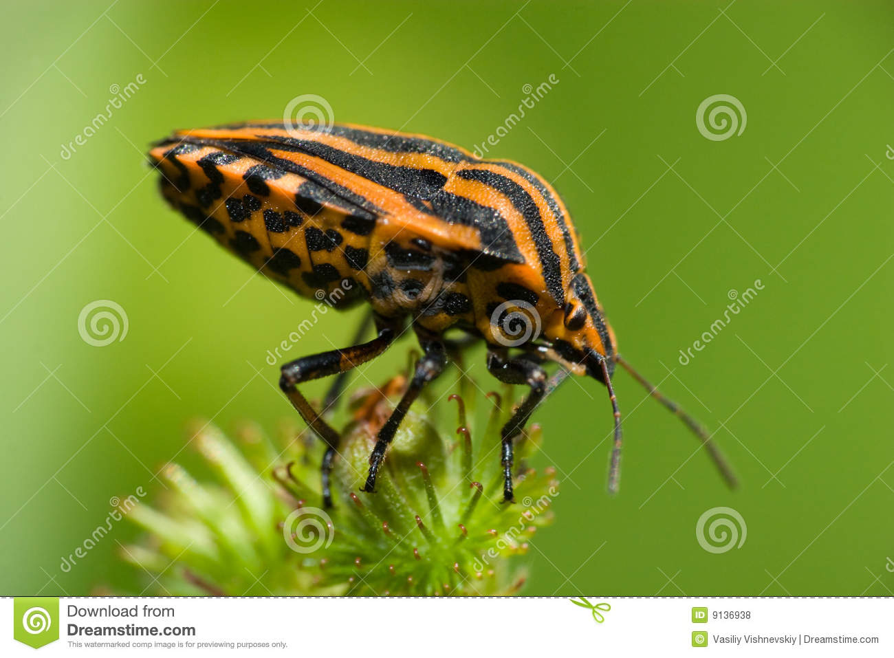 Graphosoma Lineatum, Red & Black Striped Stink Bug Royalty Free.