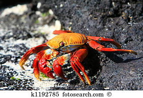 Grapsidae Stock Photos and Images. 36 grapsidae pictures and.