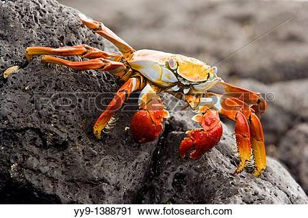 Stock Photography of Sally Lightfoot Crab Red Rock Crab at Barge.