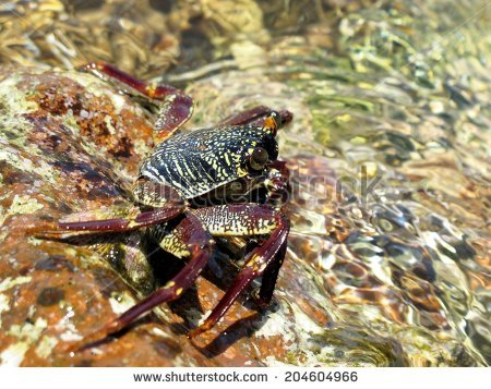 Common Shore Crab Stock Photos, Royalty.
