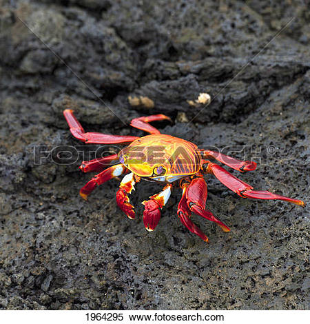 Stock Image of sally lightfoot crab (grapsus grapsus); galapagos.