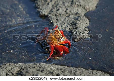 Stock Photograph of Sally lightfoot crab (Grapsus grapsus) in the.