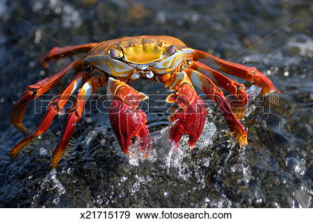 Stock Photograph of Sally Lightfoot Crab (Grapsus grapsus), in.
