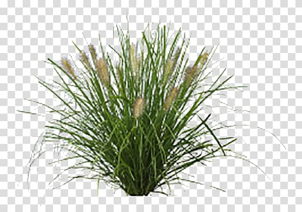 Fountaingrasses Lawn Vetiver Sweet Grass Plants, Potted palm.