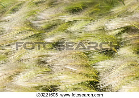 Stock Image of feather grass, mat grass k30221605.