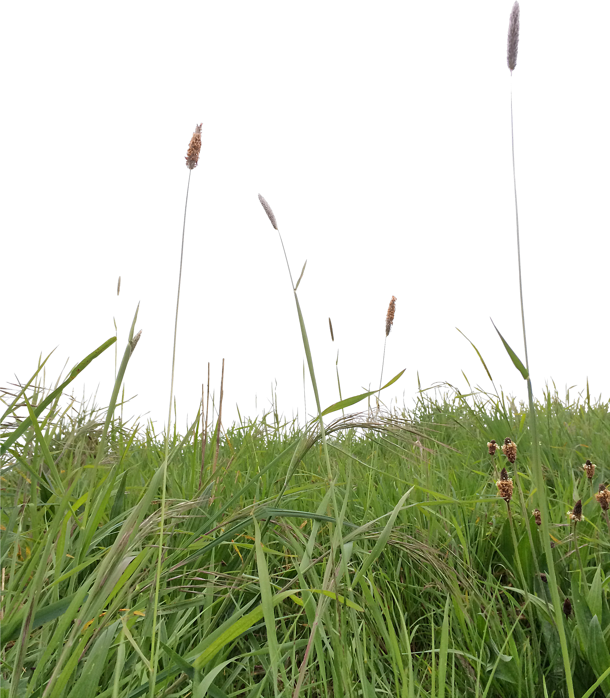 HD Long Grass Png.