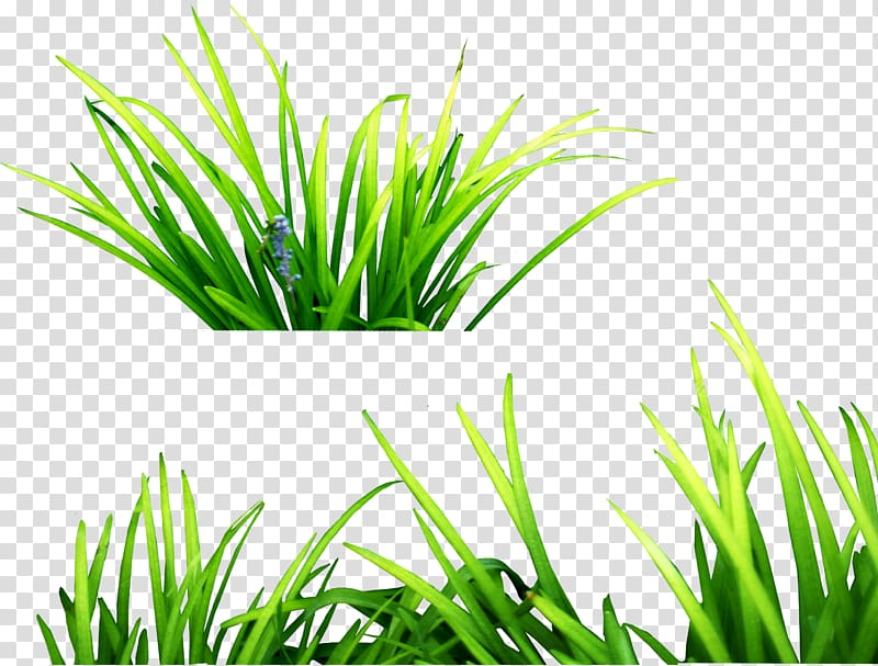 Grasses , grass , green grass transparent background PNG.