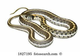 Garter snake Stock Photos and Images. 316 garter snake pictures.