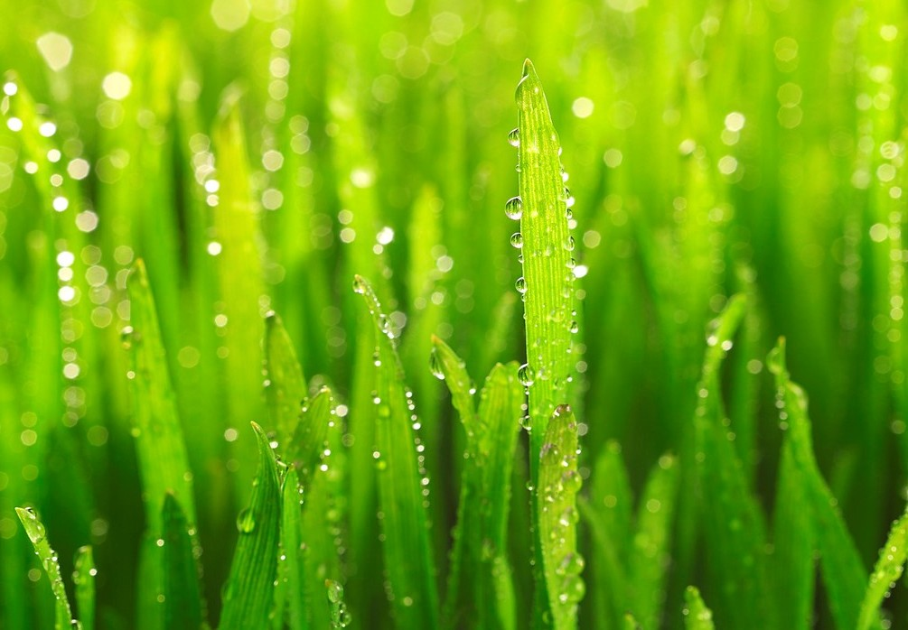 Grass with dew clipart.