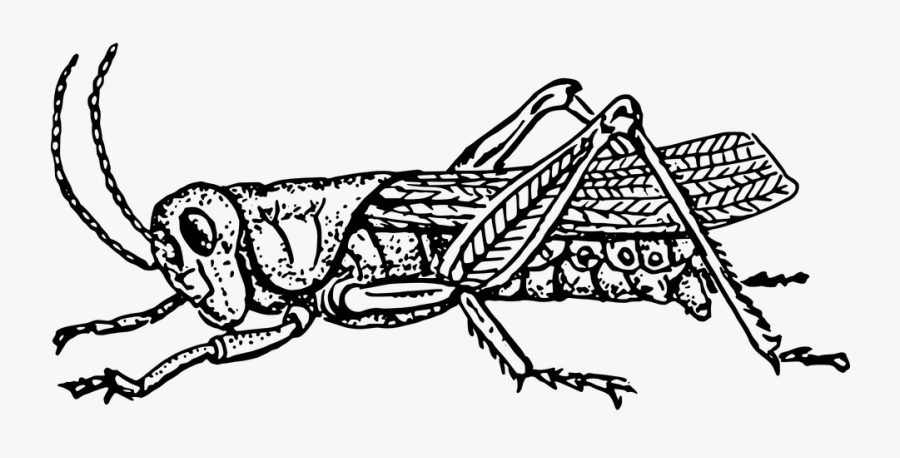Grasshopper Cliparts Black And White , Free Transparent.
