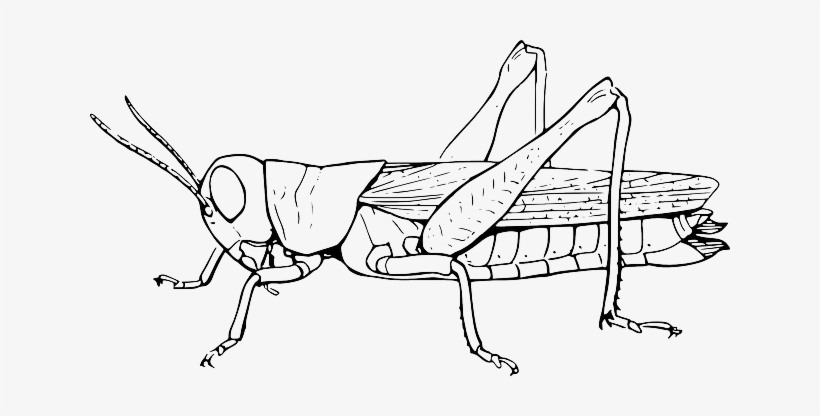 Grasshopper, Locust, Hopper, Animal, Insect, Nature.