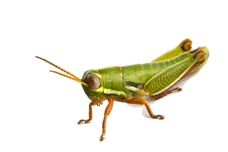 Download Grasshopper PNG Photo.