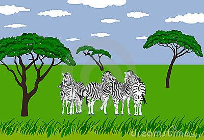 Alert Zebras Grassland Stock Illustrations.