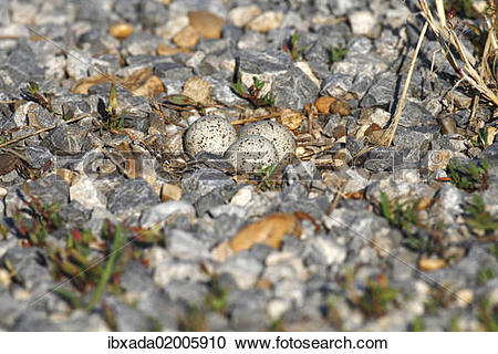 """Stock Photography of """"Little Ringed Plover (Charadrius dubius."""