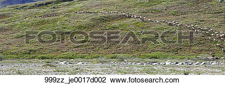 Stock Photo of View of the Porcupine Caribou herd heading up the.