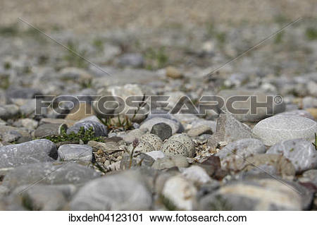 Stock Photography of Eggs of Little Ringed Plover (Charadrius.