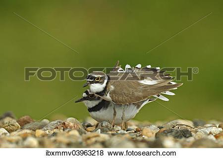 """Pictures of """"Ringed Plover (Charadrius dubius), breeding pair in."""