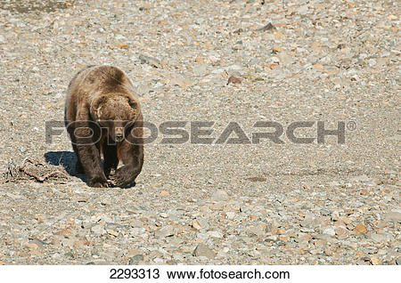 Stock Photo of Brown bear (ursus arctos) walks across a gravel bed.