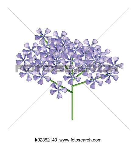 Clipart of Bunch of Violet Rose Geranium or Pelargonium Graveolens.