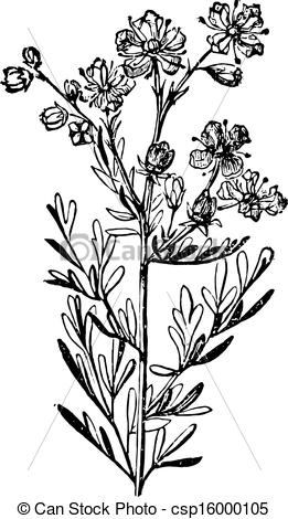 Vector Clipart of Rue or Ruta Graveolens, vintage engraving..