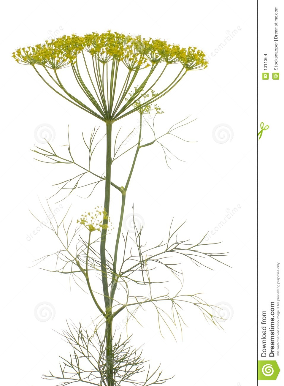 Dill (Anethum Graveolens) Stock Images.