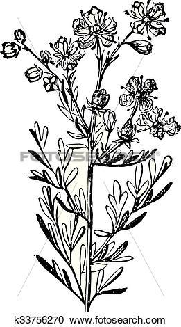 Clipart of Rue or Ruta Graveolens, vintage engraving. k33756270.