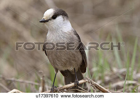 Stock Photography of spring nature gray jay perched branch in camp.