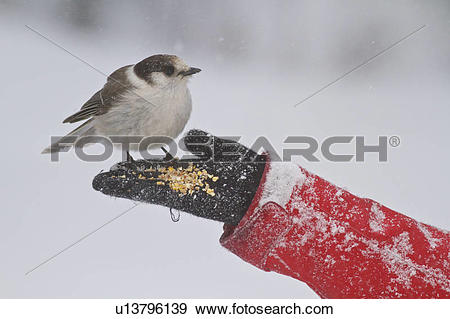 Stock Photograph of Gray Jay (Perisoreus canadensis) feeding from.
