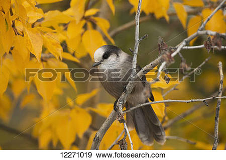 Stock Photograph of Gray Jay or Whiskey Jack (Perisoreus.