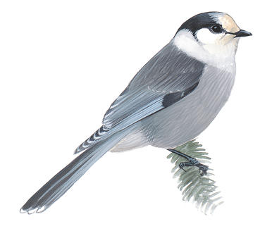 Inside the Controversial Vote to Make the Gray Jay Canada's.