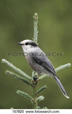 Stock Photography of Gray Jay on a twig / Perisoreus canadensis.