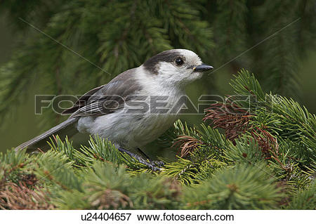 Picture of Gray Jay (Perisoreus canadensis) perched on a branch in.