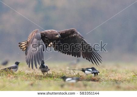 Jackal Buzzard Bird Prey Flying Wings Stock Photo 60015700.