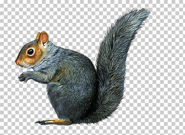 Eastern gray squirrel Raccoon Chipmunk Illustration.