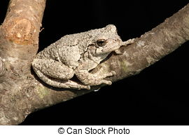 Stock Photographs of Gray Tree Frog (Hyla versicolor) on a tree.