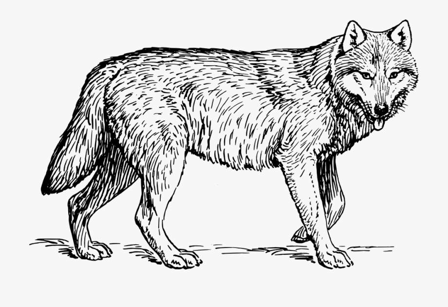 Wolf, Animal, Biology, Canine.
