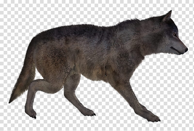 Wolf Poses , gray wolf transparent background PNG clipart.