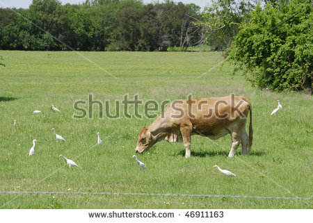 Cow Grazing In Field With Cattle Egret Many Birds Stock Photo.