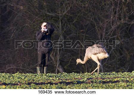 Stock Image of Greater Rhea (Rhea americana). Tourist taking.