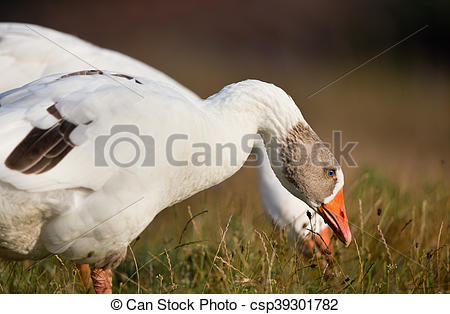 Pictures of Domestic geese grazing.