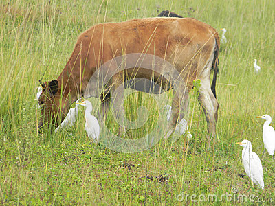 Cow Grazing With Birds Stock Photo.