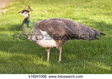 Stock Images of Peafowl Female Peacock Flying Bird Grazing Feeding.