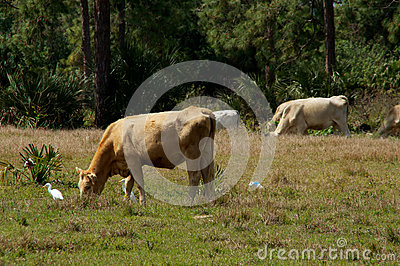 Cow Grazing Birds Stock Photos, Images, & Pictures.